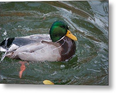 Duck Bathing Series 4 Metal Print by Craig Hosterman