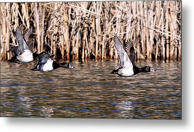 Ducks - Ring Neck - Hold Up Metal Print by Travis Truelove