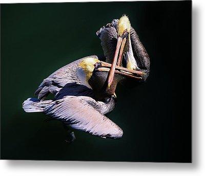 Dueling Pelicans Metal Print by Paulette Thomas