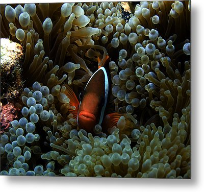 Dusky Anenomefish Metal Print by Brian Governale