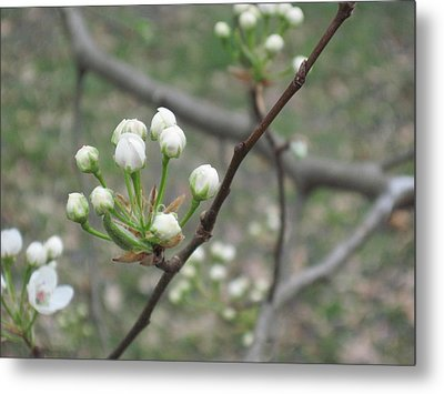 Early Blossoms Metal Print by Rebecca Shaw