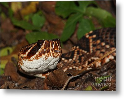 Eastern Diamondback Metal Print by Lynda Dawson-Youngclaus