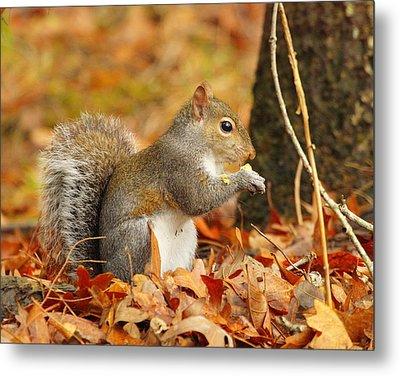 Eastern Grey Squirrel Metal Print by Andrew McInnes