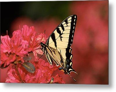 Eastern Yellow Tiger Swallowtail And Azaleas Metal Print by Lara Ellis