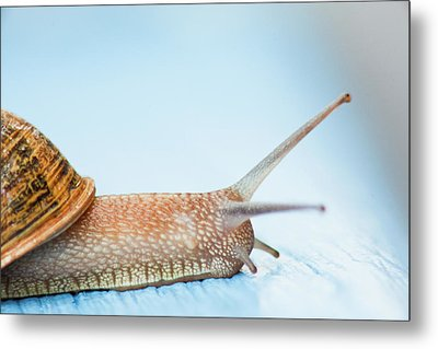 Edible Snail On  Wooden Ground Metal Print by Guido Mieth