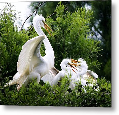 Egret With Babies Metal Print by Paulette Thomas