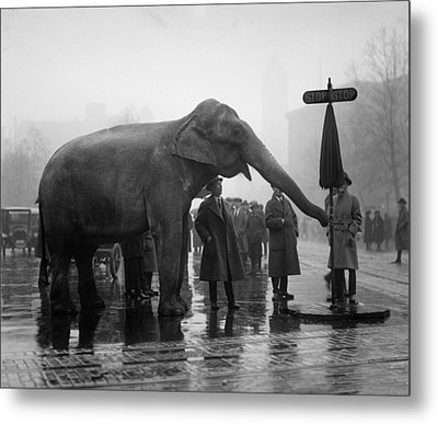 Elephant, And Stop Sign On A Wet Day Metal Print by Everett