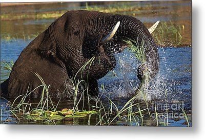 Elephant Eating Grass In Water Metal Print by Mareko Marciniak