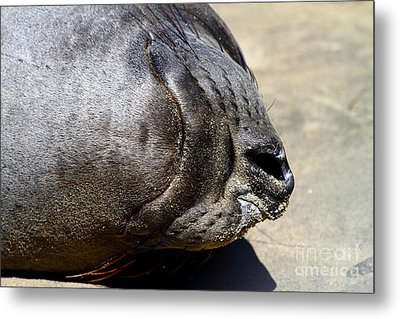 Elephant Seal Snout . 7d16085 Metal Print by Wingsdomain Art and Photography
