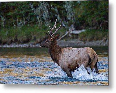 Elk Through Water Metal Print by Maik Tondeur