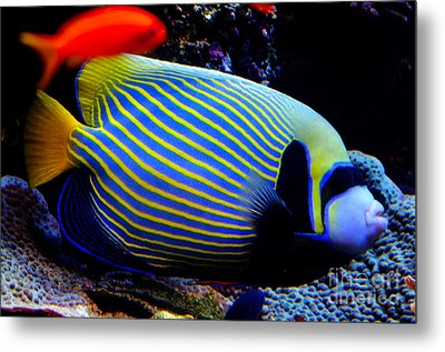 Emperor Angelfish Metal Print by Pravine Chester