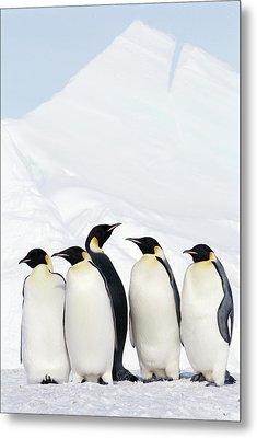 Emperor Penguins And Icebergs, Weddell Sea Metal Print by Joseph Van Os