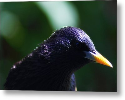 European Starling Metal Print by Scott Hovind