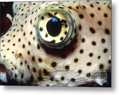 Extreme Close-up Of A Pufferfish Eye Metal Print by Beverly Factor