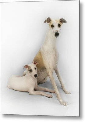Father And Son Whippets Metal Print by John Clum