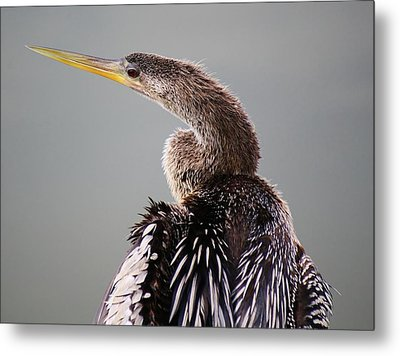Female Anhinga Metal Print by Paulette Thomas