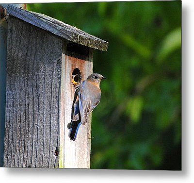 Female Eastern Bluebird IIi Metal Print by Jai Johnson