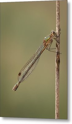 Female Emerald Damselfly Metal Print by Andy Astbury