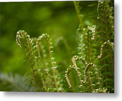 Ferns Fiddleheads Metal Print by Mike Reid