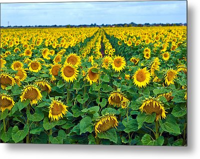 Field With Sunflowers In France Metal Print by Www.bluemoonfotografie.nl