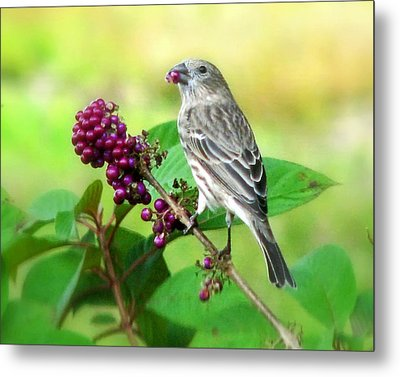 Finch Eating Beautyberry Metal Print by Peg Urban