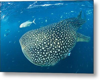 Fish Following A Whale Shark Metal Print by Paul Nicklen