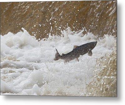 Fish Jumping Upstream In The Water Metal Print by John Short