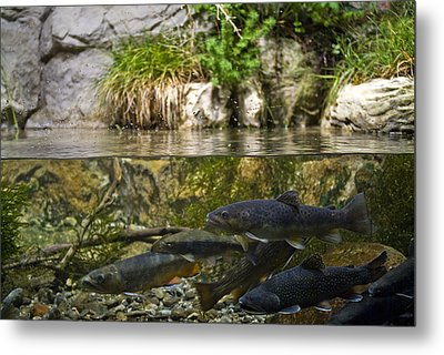 Fish Swimming In An Aquarium Metal Print by Todd Gipstein