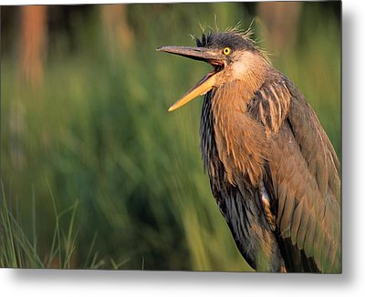 Fledgling Great Blue Heron Metal Print by Natural Selection Bill Byrne