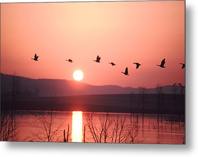 Flock Of Canada Geese Flying Metal Print by Ira Block