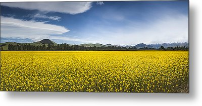Flowering Mustard Crop In Canterbury Metal Print by Colin Monteath
