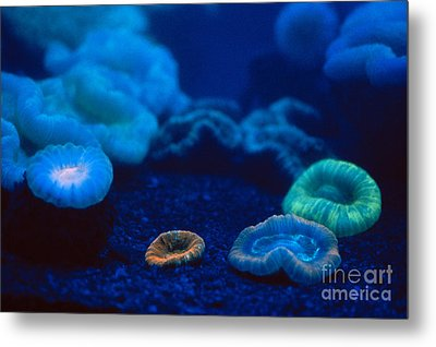 Fluorescent Corals Metal Print by Kjell B Sandved and Photo Researchers
