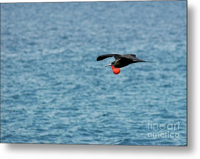 Flying Male Great Frigate Metal Print by Sami Sarkis
