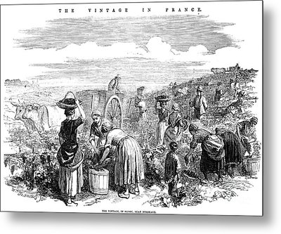 France: Grape Harvest, 1854 Metal Print by Granger