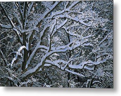 Fresh Snowfall Blankets Tree Branches Metal Print by Tim Laman