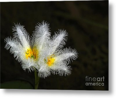 Frilly White Water Lily Metal Print by Sabrina L Ryan
