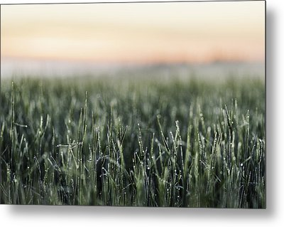 Frost On Tall Grass In Field Metal Print by Manuel Sulzer
