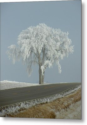 Frost On The Big Tree  Metal Print by Penny Meyers