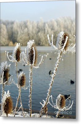 Frosty Teasel Metal Print by John Chatterley