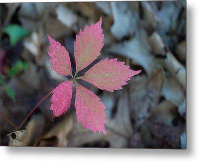 Fushia Leaf 2 Metal Print by Douglas Barnett