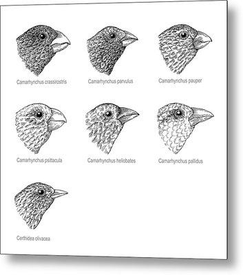 Galapagos Finches, Artwork Metal Print by Gary Hincks