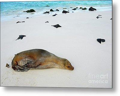 Galapagos Sea Lion Sleeping On Beach Metal Print by Sami Sarkis