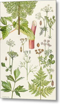 Garden Angelica And Other Plants  Metal Print by Elizabeth Rice