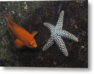 Garibaldi With Starfish Underwater Metal Print by Flip Nicklin