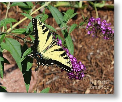 Giant Swallowtail Butterfly Metal Print by Theresa Willingham