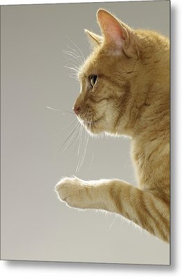 Ginger Tabby Cat Raising Paw, Close-up, Side View Metal Print by Michael Blann