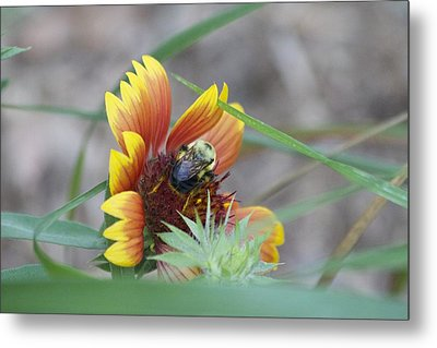 Glory Bumblebee Metal Print by Michel DesRoches