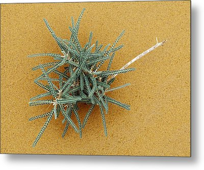 Goat's-thorn (astragalus Gombo) Metal Print by Dirk Wiersma