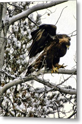 Golden Eagle Stretching Metal Print by Don Mann