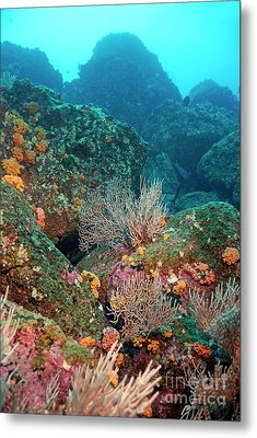 Gorgonian Fans And Cup Coral On Rocky Seabed Metal Print by Sami Sarkis